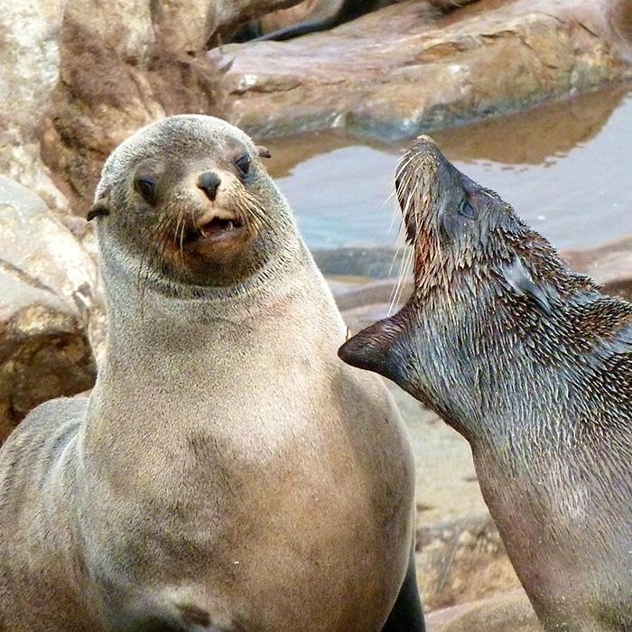 Seal-Fish